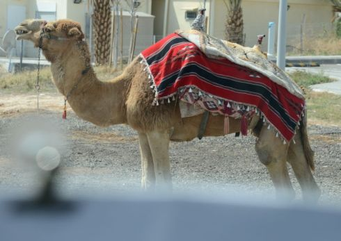 Israel image/photo 5 -This is the 27 Camel